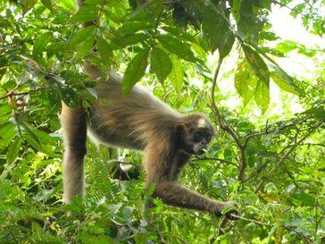 Der in Kolumbien beheimatete Braune Klammeraffe (Ateles hybridus) gehört zu den 25 am stärksten bedrohten Primaten der Welt 2012. Quelle: Foto: Rebecca Rimbach / Deutsches Primatenzentrum GmbH (idw)