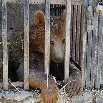 Auswilderung der Bärin Masha. Bild:  © Immo Fischer / WWF