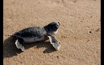 Frisch geschlüpfte Grüne Meeresschildkröte Quelle: Foto: PD Dr. Rolf Schneider (HU Berlin) (idw)