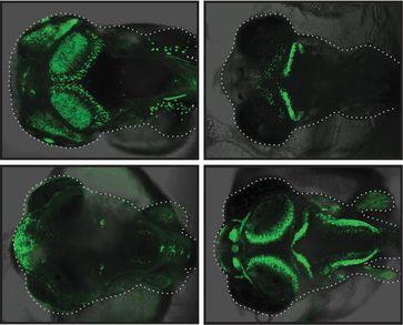 """Mit Hilfe des grün fluoreszierenden Proteins (GFP) wurden diejenigen Strukturen im Medaka-Fisch sichtbar gemacht, in denen die identifizierten """"de novo""""-Enhancer aktiv sind. Quelle: Abbildung: Ettwiller / Eichenlaub (idw)"""