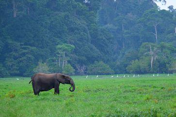 """Waldelefant vor Regenwald /  Bild: """"obs/3sat"""""""