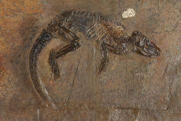 """""""Hessischer"""" Schuppenschwanz (Pholidocercus hassiacus). Original Hessisches Landesmuseum Darmstadt, Inventar-Nr. HLMD-Me 10003. Quelle: Foto: Wolfgang Fuhrmannek, HLMD (idw)"""