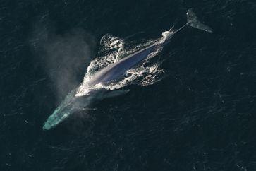 Blauwal von oben gesehen