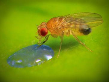 Um Objekte anhand ihrer Farbe zu erkennen, benutzt die Fliege sowohl die inneren als auch die äußere Quelle: Pavel Masek/Bernstein Koordinationsstelle, 2013 (idw)