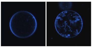 Membranbläschen mit (links) und ohne das Protein Mic10 (rechts). Mic10 führt zu Einstülpungen der Me Quelle: Foto: Meinecke (idw)