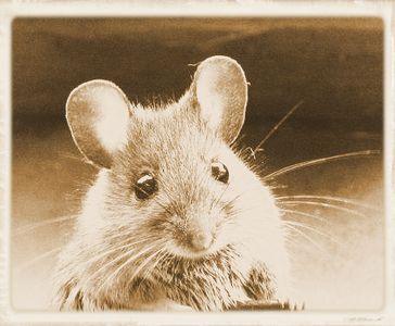 Mäuse werden auch heute noch massenweise ermordet für fragwürdige Forschungen (Symbolbild)
