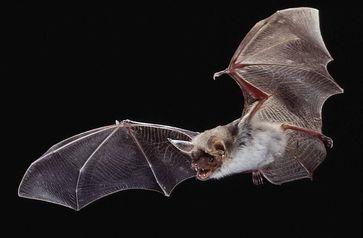 Große Mausohrfledermaus (Myotis myotis) Bild: Dietmar Nill