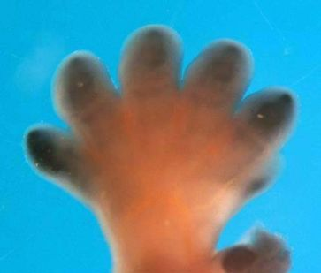 Embryo-Hand: Die dunkle Färbung zeigt die Expression von SOX9 an. Quelle: (Bild: UZH) (idw)