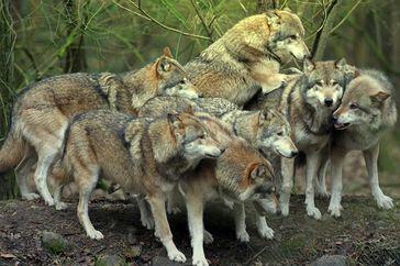 Ein friedliches Wolfsrudel: Wölfe nehmen Jägern die Arbeit weg. Zeit sie auszurotten?!