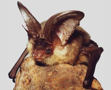 Fledermaus (Plecotus austriacus)