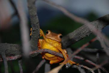 Vor rund 35 Millionen Jahren wanderte der Baumfrosch (Rhacophorus rhodopus) von Asien nach Indien ein. Quelle: Foto: J.-T. Li (idw)