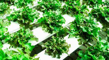 Salat in einer hydroponischen Farm