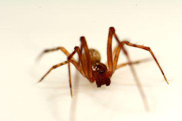 Ein ausgewachsenes Männchen der Gewächshausspinne (Parasteatoda tepidariorum). Die beiden dunklen birnenförmigen Anhänge am Kopf sind die Begattungsorgane. Quelle: Foto: Leonard Georg (idw)
