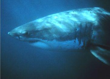 Kopf eines Weißen Hais mit den typischen schwarzen Augen, der scharfen Grenze zum weißen Bauch und den langen Kiemenschlitzen.