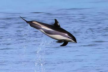 Weißseitendelphin (Symbolbild)