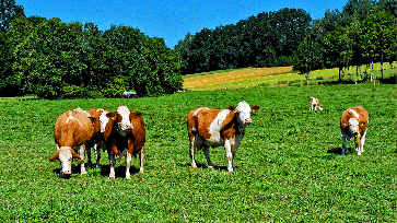 Kühe / Weide (Symbolbild