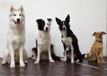 Hunde haben die Fähigkeit Mengen zu unterscheiden wahrscheinlich im Laufe der Domestikation verloren Quelle: Foto: Clever Dog Lab / Vetmeduni Vienna (idw)
