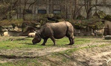 Panzernashorn (Rhinoceros unicornis) Quelle: Foto: Steven Seet (idw)