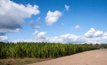 Hanf: Eine vielseitige Nutz- und Heilpflanze kehrt zurück - auch nach Deutschland