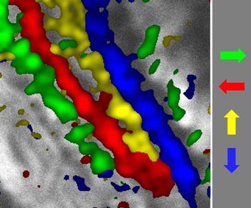 Im Fliegenhirn filtern bestimmte Nervenzellen die Richtungsinformation einer Bewegung heraus und l Quelle: MPI für Neurobiologie / Borst (idw)
