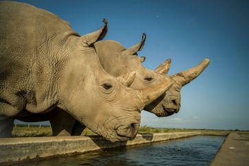 Najin (links) und Fatu (rechts) sind die letzten zwei Nördlichen Breitmaulnashörner auf der Erde. Dieses Foto entstand im Ol Pejeta Conservancy in Kenia in ihrem 700 Hektar großen Gehege. Quelle: Ami Vitale (idw)