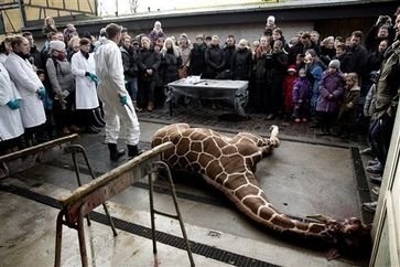 Giraffe being publically killed and dissected at the zoo: Bild: AP Photo/POLFOTO, Peter Hove Olesen -  fair use under United States copyright law - wikipedia.org