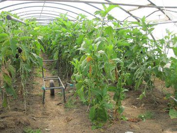 Ökologischer Gemüsebau im Folientunnel