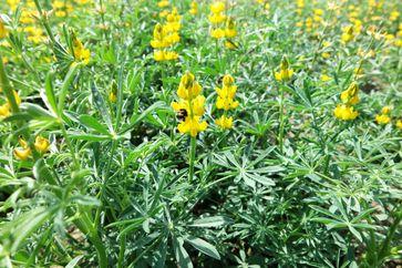 Gelbe Lupinen bieten Nahrung für Hummeln. Durch züchterische Verbesserung soll ihr Anbau attraktiver werden. Bild: Brigitte Ruge-Wehling/JKI (idw)