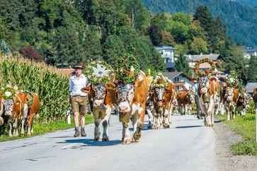 BILD zu OTS - Die Sommerfrische ist vorüber: Festlich geschmückt kehren die Kühe zurück ins Tal.