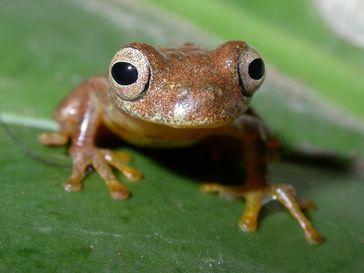 Den Laubfrosch Dendropsophus minutus findet man von Venezuela im Norden bis Argentinien im Süden. Quelle: © Frank Glaw/Zoologische Staatssammlung München (idw)