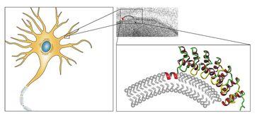Ankyrin repeats bewirken zusammen mit einer weiteren Proteinstruktur Membrankrümmungen (rechts) und spielen im Protein Ankycorbin so eine zentrale Rolle in der Gestaltbildung von Nervenzellen (links).