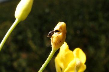Käfer frisst an Rapsblüte. Foto: Kühne/BBA