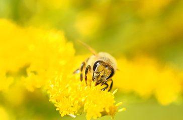 """Bienen bei ihrer unermüdlichen und kostenlosen Arbeit: Leider werden sie mit Gift in der Landwirtschaft """"belohnt"""" (Symbolbild)"""