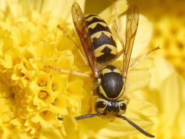 Wespen, sanfmütige Wesen, wenn sie nicht in die Ecke gedrängt werden...