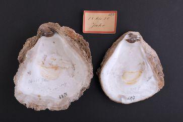 Historische Austernschalen aus den Sammlungen von Karl August Möbius, Zoologisches Museum Kiel Quelle: © Jutta Drabek-Hasselmann, Zoologisches Museum, Uni Kiel (idw)