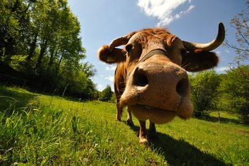 Eine friedlebende Kuh (Symbolbild)