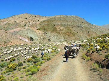 Hirtennomaden im trockenen Südosten Marokkos besitzen ein großes Wissen über die Futterqualität und Quelle: Foto: Dr. Gisela Baumann/Universität zu Köln (idw)