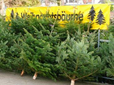 Zuschauen wie Weihnachtsbäume im Wohnzimmer sterben...