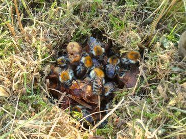 Oberirdisches Ackerhummel-Nest (obere Wachsabdeckung der Nestkugel wurde entfernt)