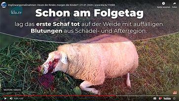Bild: Impfkritik.de / Bericht von kla.tv über die Folgen einer Zwangsimpfung bei Schafen