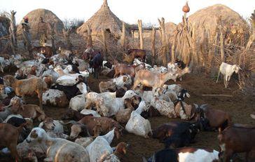Sicherheitskräfte konfiszieren Vieh und zwingen die Völker des Omo-Tals, ihr Land zu verlassen. Bild: Survival International