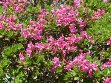 Die Blüten des Rhododendrons stellen je nach Pflanzenzüchtung verschiedene kraftvolle Farben zur Schau.