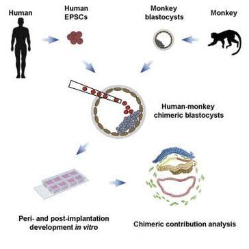 Wissenschaftler erschaffen halb-menschliche, halb-affenhafte Embryonen Bild: UM / Eigenes Werk