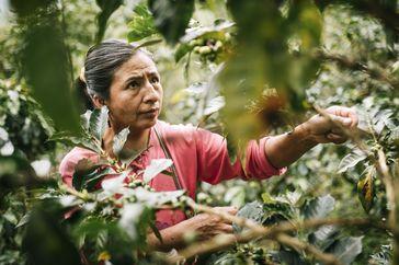 Kaffeeernte bei der Fairtrade-Kooperative Cenfrocafè in Peru. Bild: Fairtrade Deutschland Fotograf: Christoph Köstlin