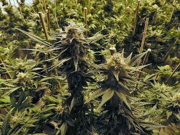 Hanfpflanzen mit Hanfblüten. Aus den Blütenständen der Hanfpflanze wir das Öl als Arzneimittel gewonnen.
