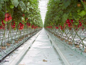 Erdfreie Hors-sol Produktion Unterglasgemüsebau (hier: Tomaten) auf Steinwolle mit Tropfbewässerungssystem (Symbolbild)