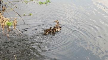Gerettete Entenfamilie