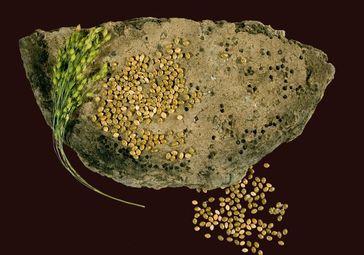 Eingebrannt in Keramikgefäße lässt sich das kleinfrüchtige Getreide Hirse aus der Spätbronzezeit noch heute mit chemischen Methoden untersuchen. Quelle: Foto/Copyright: Kneisel (idw)