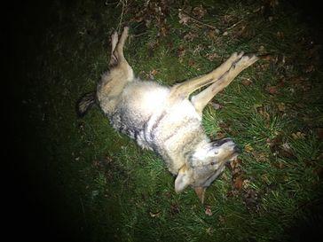 Wolf auf der B209 von Pkw erfasst. Bild: Polizei