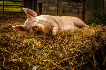 Stall, Schwein (Symbolbild)